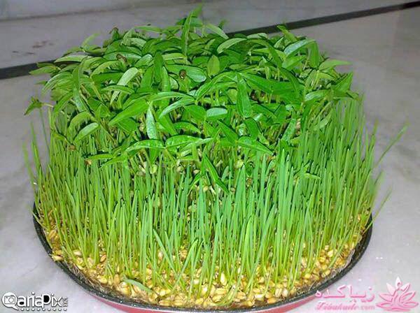 سبزه گندم روی تنگ ماهی ایده ای زیبا برای سبزه ی سفره هفت سین 🍊 کاشت تخم نارنج و ...