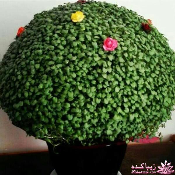 کاشت سبزه کنجد سبزه عید را خودتان سبز کنید ! سبزه_با_کنجد_سیاه درست شده ...